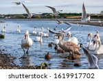 Small photo of Mute swans, Cygnus olor, at water's edge in estuary and gulls flying, Laridae. Bevy of white mute swans, with brown feathered juvenile, and seagulls in flight. Birds, Dublin, Ireland, Europe