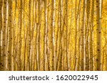 A Thick Stand Of Aspen Trees On ...