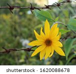 Bright Yellow Flower On Barbed...
