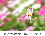 cosmos flower with bees in... | Shutterstock . vector #1620227035