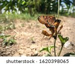 Butterflies Mating Until The...