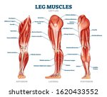Leg Muscle Anatomical Structure ...