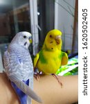 Two Cute Budgies Sitting On Th...