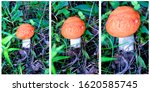Small photo of Edible mushrooms mushrooms grow in the forest in the grass. Triptych - mushroom in different sizes. Red cap mushroom.Edible mushrooms mushrooms grow in the forest in the grass. Triptych - mushroom