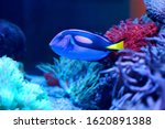 A Pacific Regal Blue Tang ...