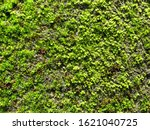 Small photo of Mosses are a phylum of non-vascular plants. They produce spores for reproduction instead of seeds and don't grow flowers.