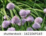 decorative onion grows and...