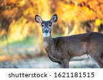 White Tailed Deer Doe With Fall ...