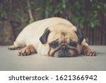 Funny Sleepy Pug Dog With Gum...