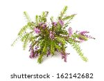 Purple Heather Branch Isolated...