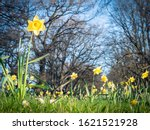 Blooming daffodils field in...