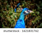 Peacock With Blue Plumage Head...