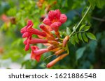 Small photo of Orange trumpet creeper or trumpet vine. Campsis radicans (trumpet vine or trumpet creeper, also known in North America as cow itch vine or hummingbird vine). The flower of campsis closeup.