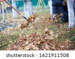 Harvesting Dry Leaves....