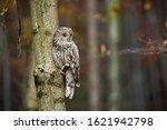 Wild Ural Owl  Strix Uralensis...
