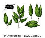 bay leaf vector hand drawn... | Shutterstock .eps vector #1622288572