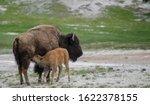 Bison Calf Nursing On Sandy Bank