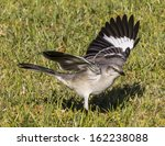 Northern Mockingbird Foraging...