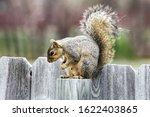 Grey Squirrel In Colorado On A...