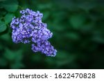 Close Up Purple Lilac Bush...