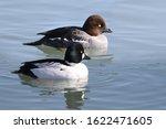 Common Goldeneye Ducks In...