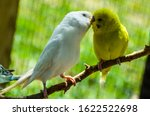 White And Yellow Budgies Kissing