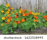 Small photo of Nasturtium in glory by a cedar fence in a raised garden, beautiful!!!