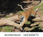 Stock photo siberian tiger leaping from tree trunk closeup view 162260672