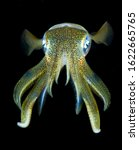 Small photo of Amazing underwater world. Sepioteuthis lessoniana - Bigfin Reef Squid. Squids in the night. Black Water Diving. Underwater photography. Tulamben, Bali, Indonesia.
