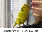 Funny Budgerigar. Cute Yellow...
