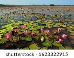 Stock Photo   Lotus  Nelumbo...