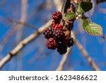 Wild Ripe Blackberries Against...