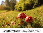 Two Red Toadstools Surrounded...