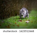 Playful Silver Tabby Maine Coo...