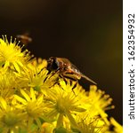 Small photo of Magnificent exemplary of apis mellifera collecting exquisite nectar of pollen on a large cluster with small yellow flowers, splendid aeonium undulatum in full bloom on diffuse natural background