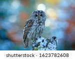 Owl In The Snowy Forest. Actio...