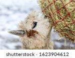 A Funny Alpaca Close Up Eating...