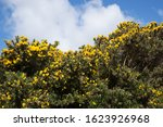 Blooming Gorse Bush With Yellow ...