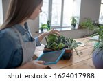 Planting Succulents. A Woman...
