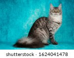 Maine Coon On A Blue Background ...