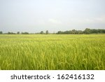 Rice field green grass blue sky cloud cloudy landscape background in thailand - stock photo