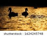Silhouette of a swans swimming on the lake at sunset - Kuchajda, Bratislava, Slovakia, Europe