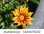 A Closeup Of Gazania Flowering...