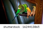 A Parrot Cleans Feathers. And...