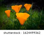 Bright Orange Poppies ...