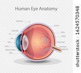 eye anatomy  knowledge of... | Shutterstock .eps vector #1624570348