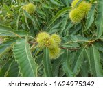 Partly Open Sweet Chestnuts An...