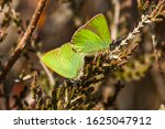 Mating Green Hairstreak...