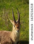 Small photo of A capra ibex sits in a valley on beautiful grass and look at the camera The horns stand upright