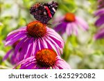 Butterfly Red Admiral On Purpl...